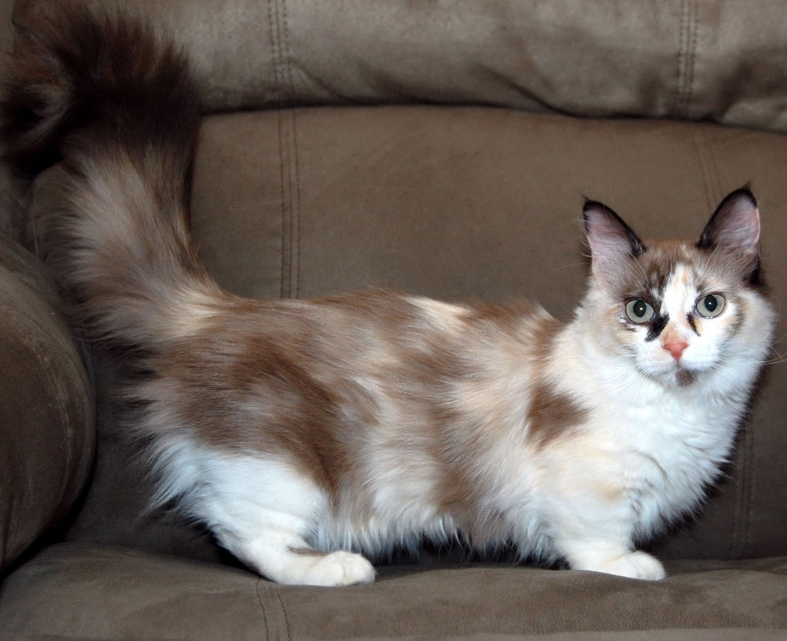 Munchkin Kitten: Munchkin Munchkin Cat Breed
