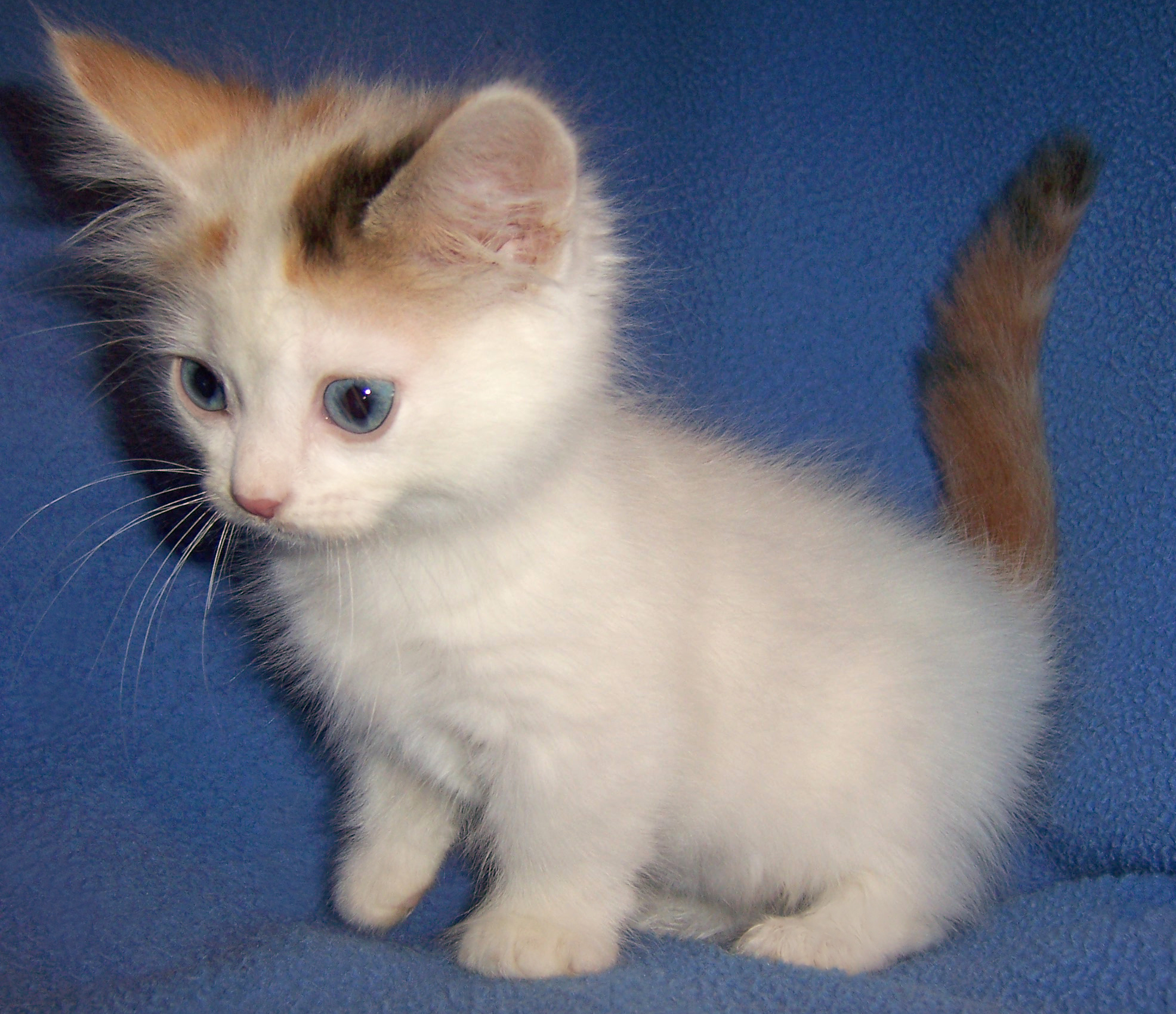 Munchkin Kitten: Munchkin Munchkin Cat History Characteristics And Temperament Breed