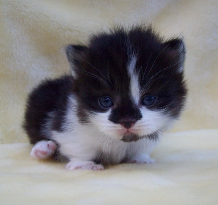 Munchkin Kitten: Munchkin Munchkin Kitten Cute Breed