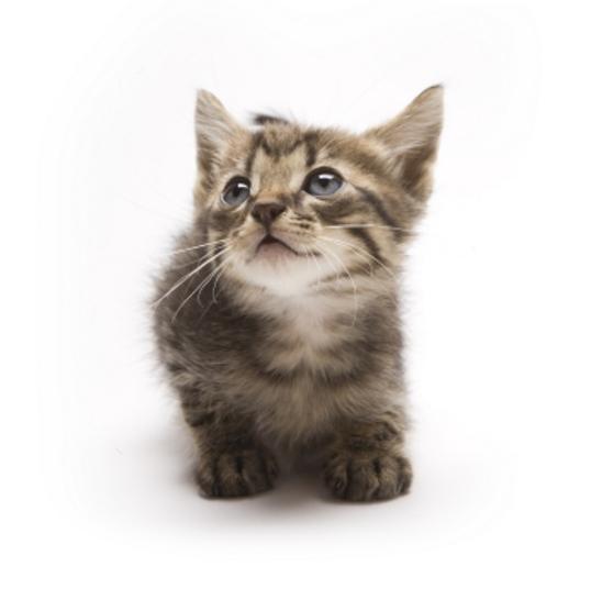 Munchkin Kitten: Munchkin Munchkincatgallery Breed