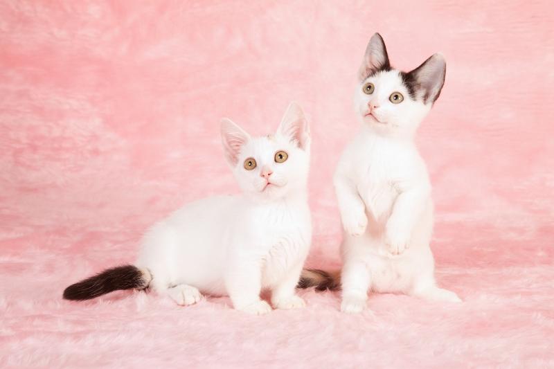 Munchkin Kitten: Munchkin Munchkinkittensforsale Breed