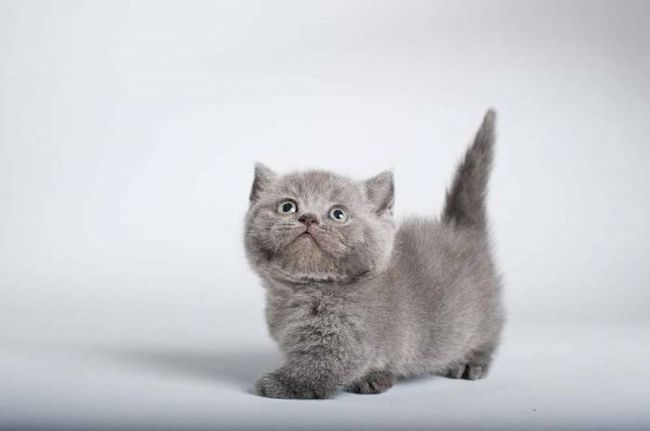 Munchkin Cat: Munchkin Raisons Avoir Chat Munchkin Breed