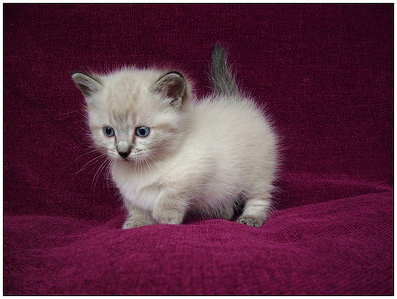Munchkin Kitten: Munchkin Scottish Fold Munchkin Kittens For Sale Breed