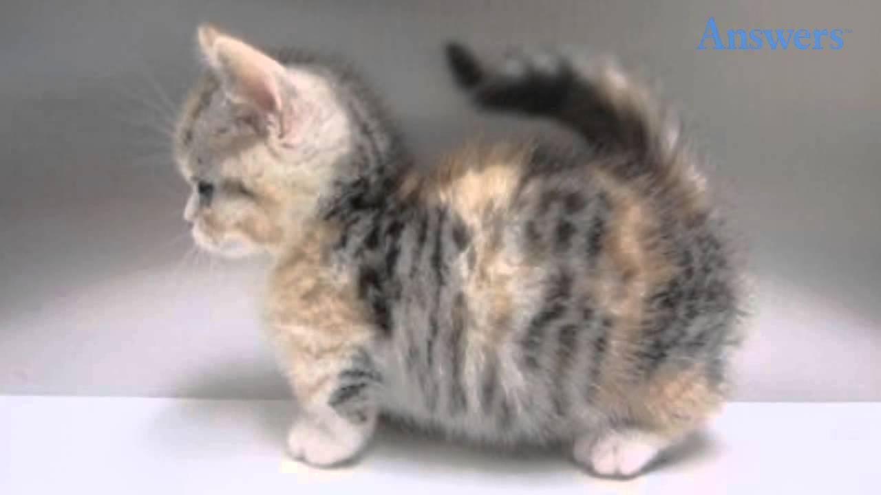 Munchkin Cat: Munchkin Watch Breed