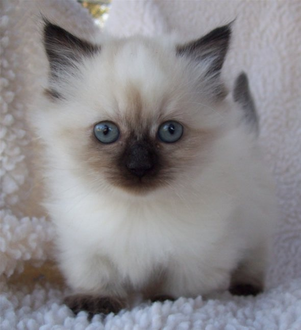 Napoleon Cat: Napoleon Breed