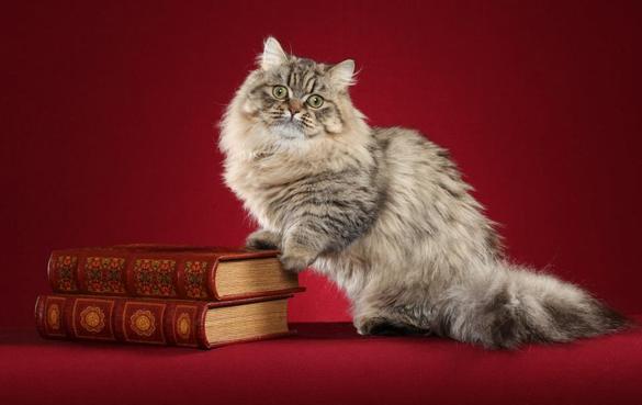 Napoleon Cat: Napoleon Minuet Cat Breed Napoleon Cat