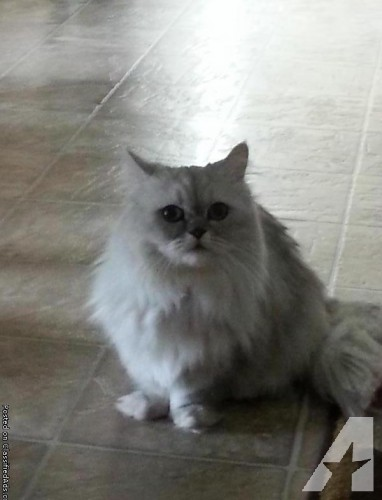 Napoleon Cat: Napoleon Napoleon Cat Breed