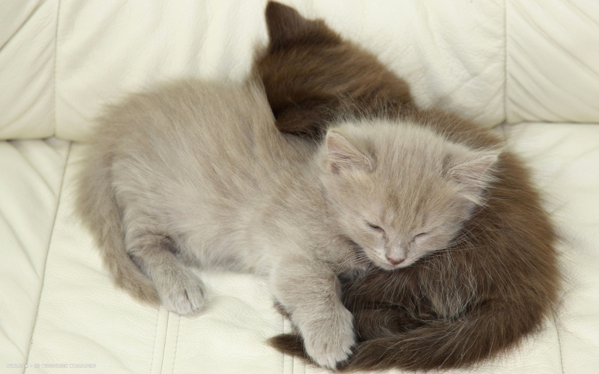 Napoleon Cat: Napoleon Napoleon Cat Lying Brown Hair Grey Hair Kitten Breed
