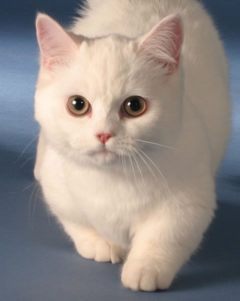 Napoleon Cat: Napoleon Napoleon Cat Mythology Breed