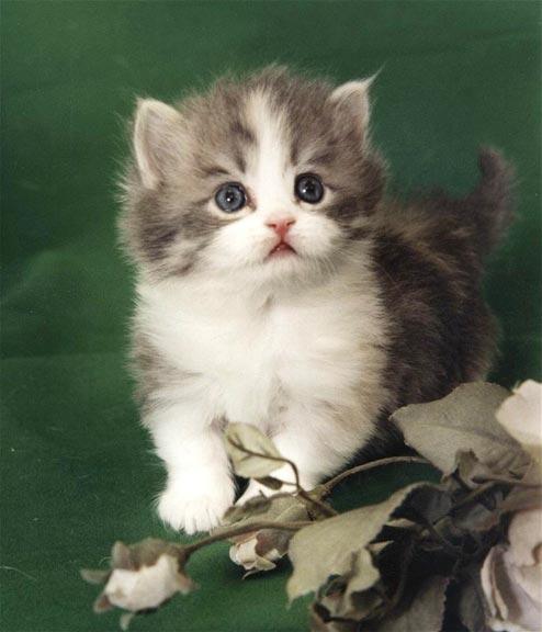 Napoleon Cat: Napoleon Napoleon Kitten Breed