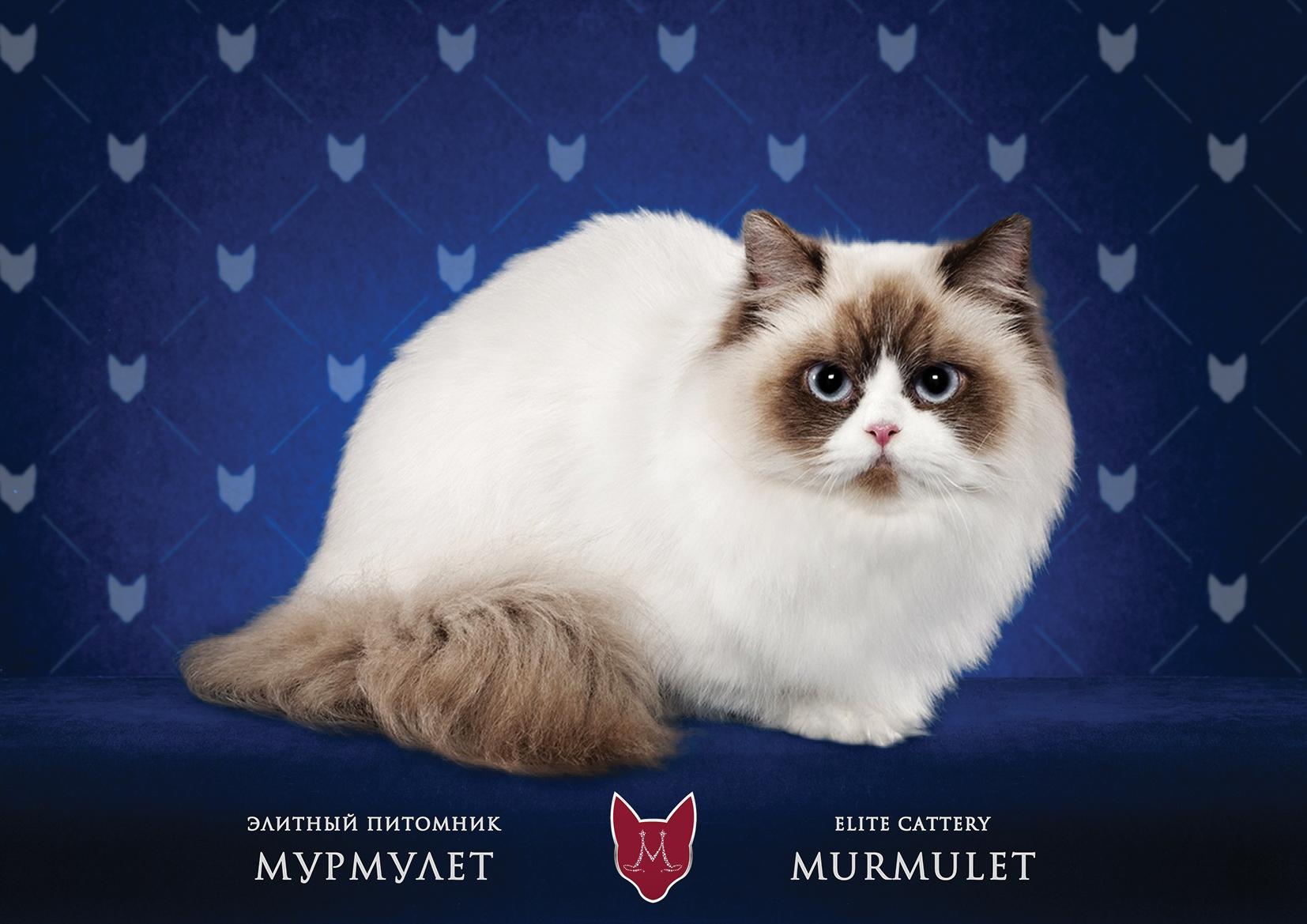 Napoleon Cat: Napoleon O Porode Napoleon Breed