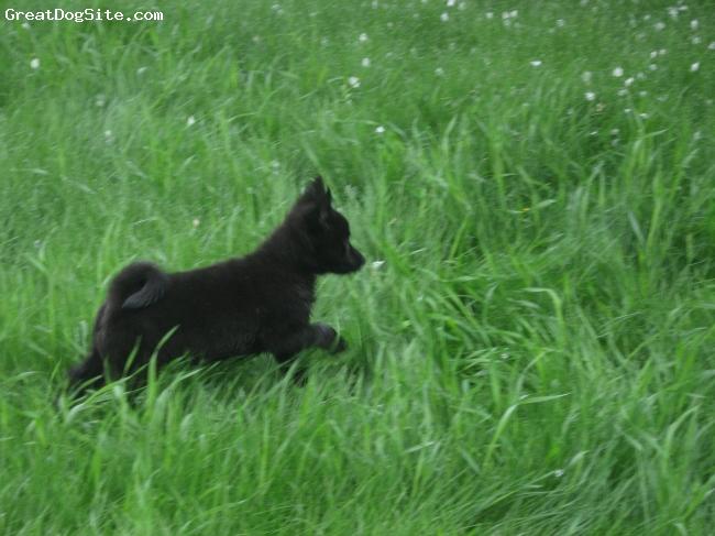 Norwegian Buhund Dog: Norwegian Dog Breeds Norwegian Buhund Page