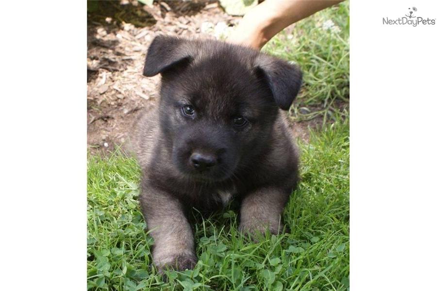 Norwegian Elkhound Dog: Norwegian E Breed