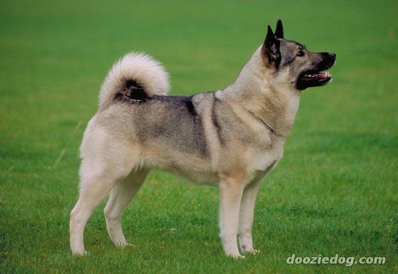Norwegian Elkhound Dog: Norwegian Elkhound Breed