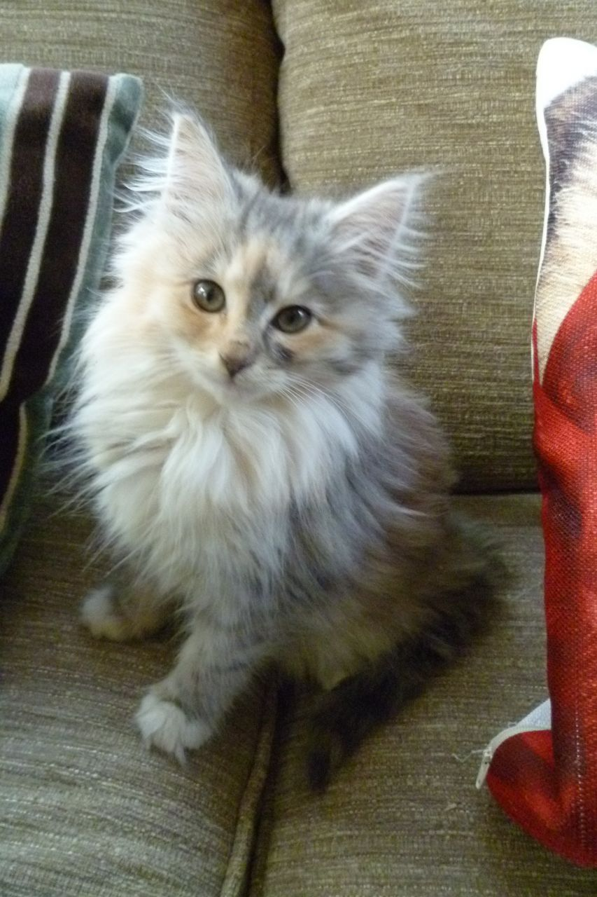 Norwegian Forest Kitten: Norwegian Grey Norwegian Forest Kittens Breed