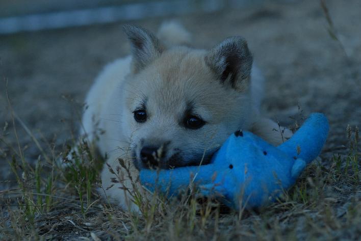 Norwegian Buhund Puppies Puppy Dog Gallery