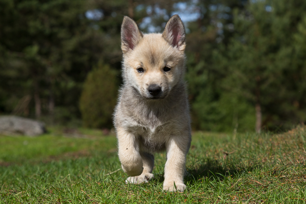 Norwegian Buhund Puppies: Norwegian Norwegian Buhund Puppy Breed