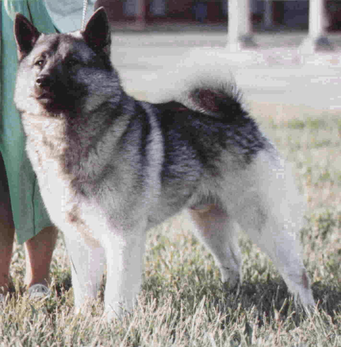 Norwegian Elkhound Dog: Norwegian Norwegian Elkhound Breed