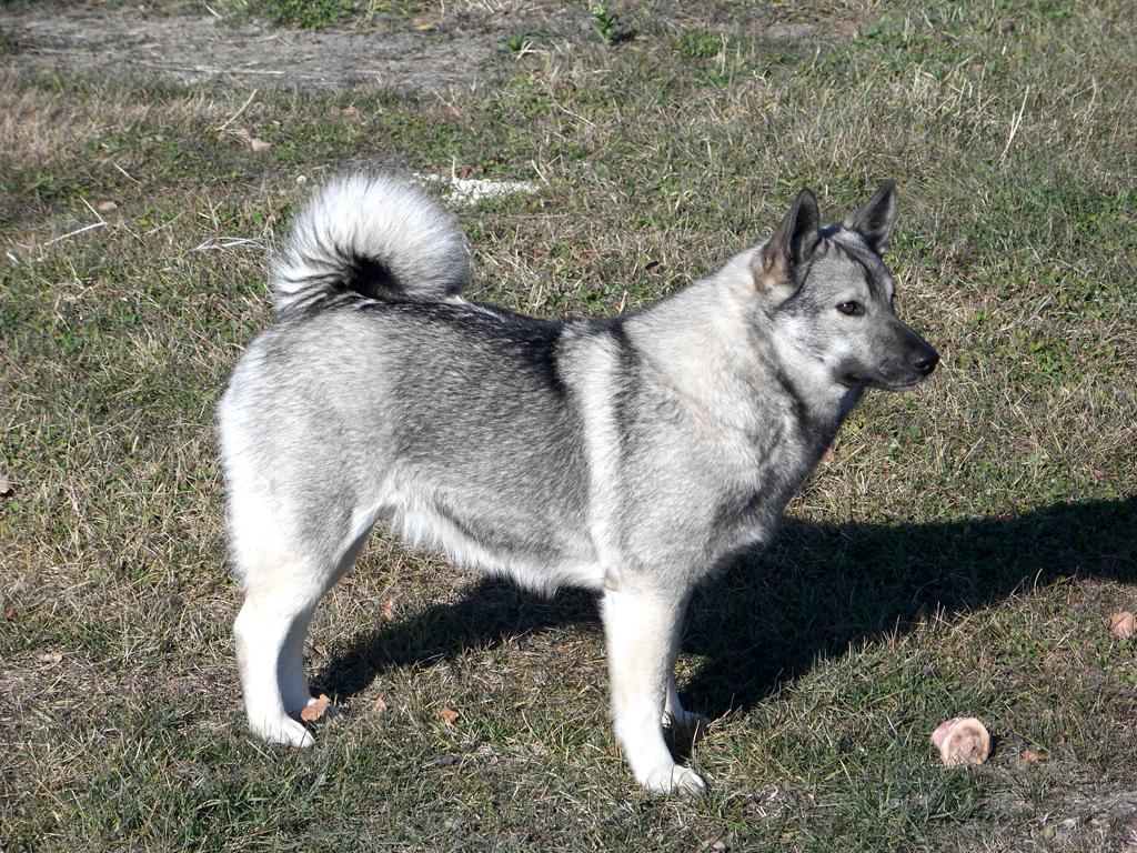 Norwegian Elkhound Dog: Norwegian Norwegian Elkhound Dog Breed Medium Size Dog Petmania