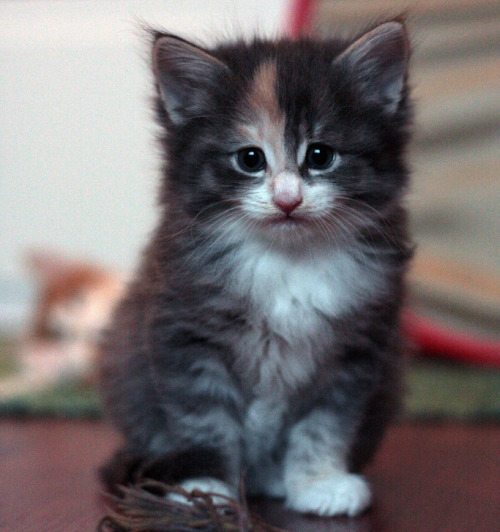 Norwegian Forest Kitten: Norwegian Norwegian Forest Kittens Breed