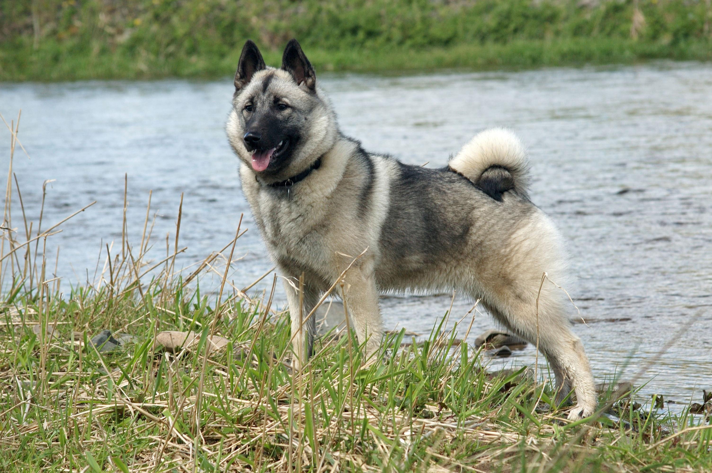 Norwegian Elkhound Dog: Norwegian Norwegianelkhounddog Breed
