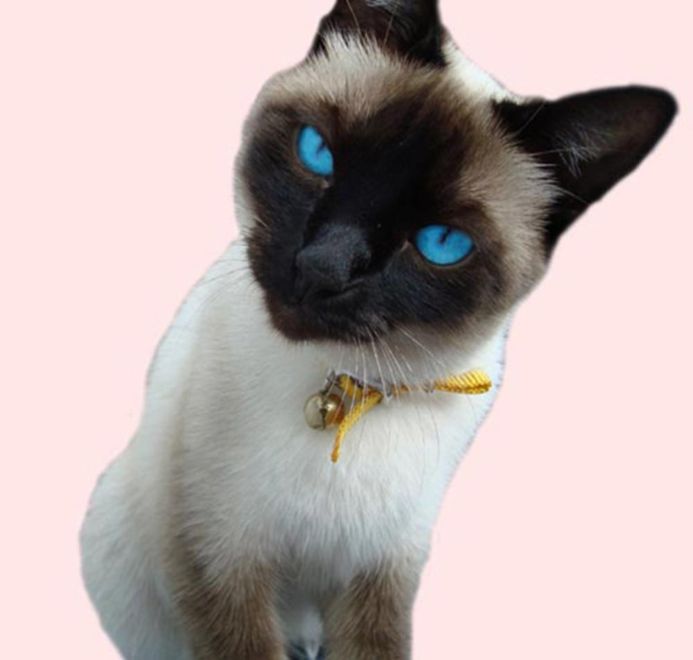 Ojos Azules Cat: Ojos Ojos Azules Picture Breed