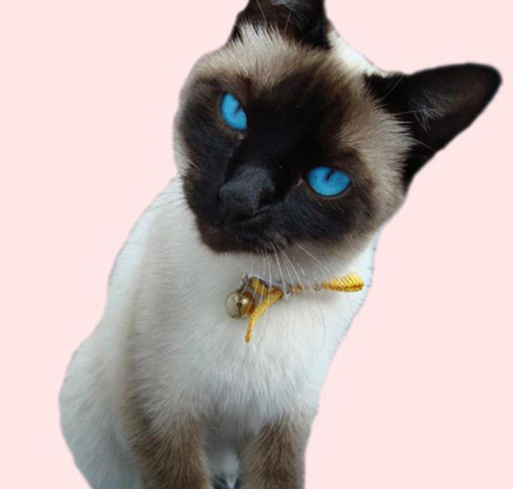 Ojos Azules Cat: Ojos Ojos Azules Picture Breed