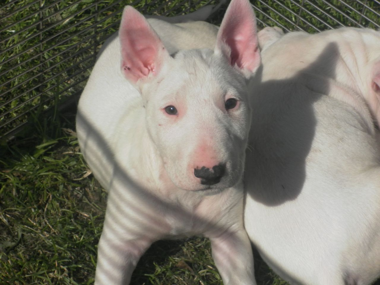 Old English Terrier Puppies: Old English Bull Terrier Puppies For Sale Wigan Breed