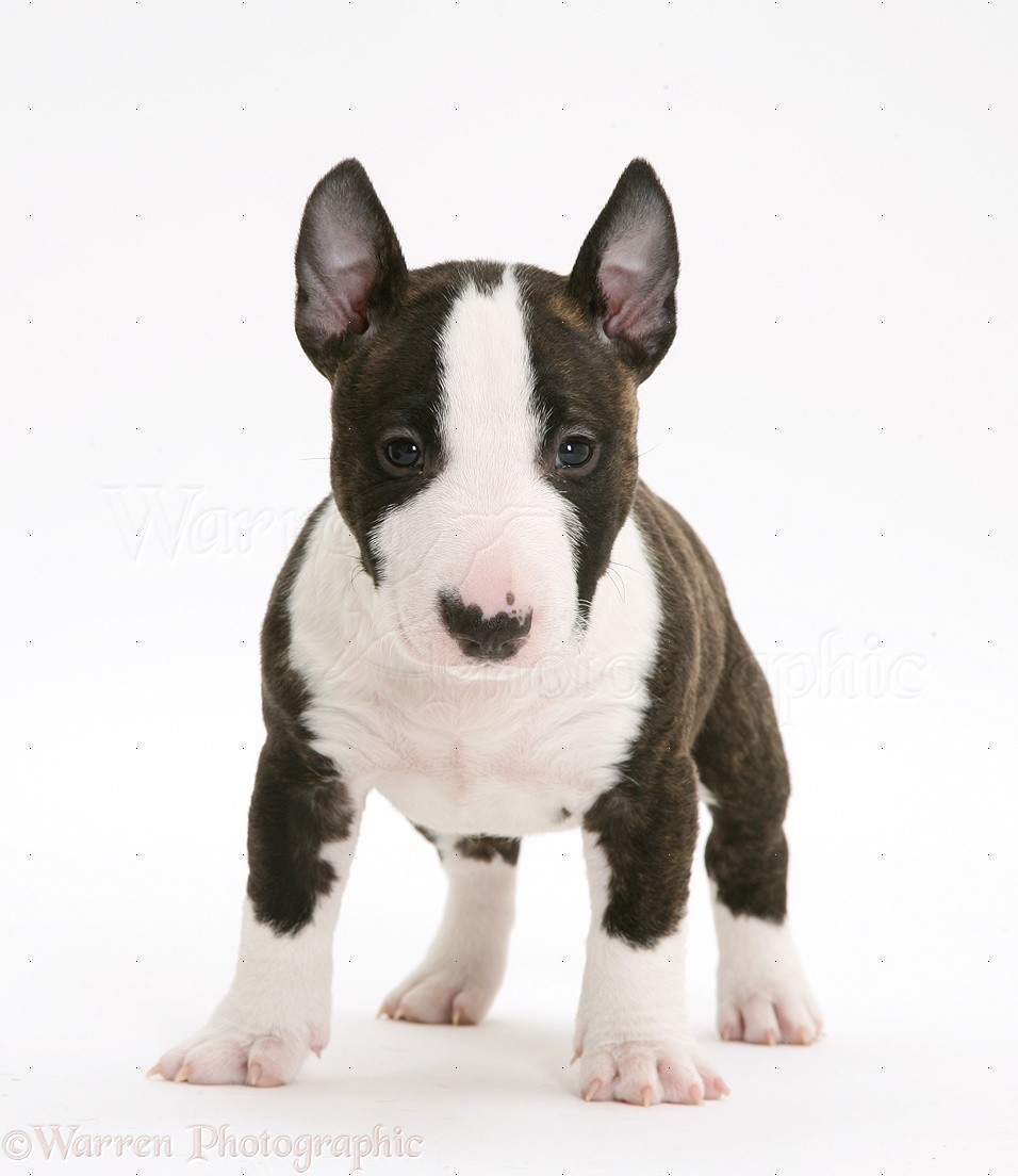 Old English Terrier Puppies: Old Miniature English Bull Terrier Pup Weeks Old Breed