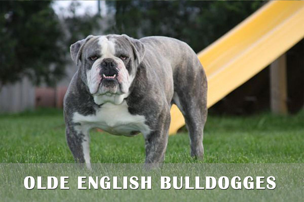 Olde English Bulldogge Dog: Olde Olde English Bulldogges Puppies For Sale Pa Md Ny Nj Dc Breed