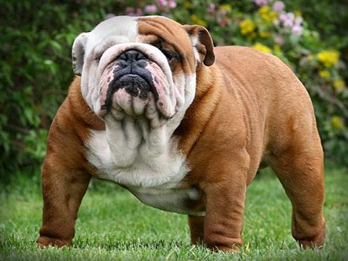 Olde English Bulldogge Dog: Olde Open Breed