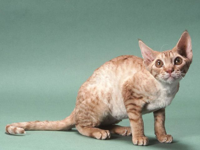 Oregon Rex Cat: Oregon Chat Munchkin Breed