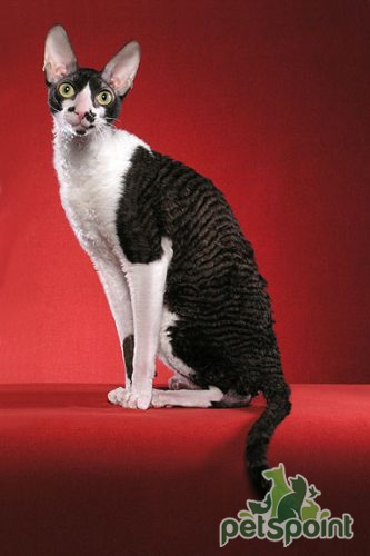 Oregon Rex Cat: Oregon Oregon Reks Breed