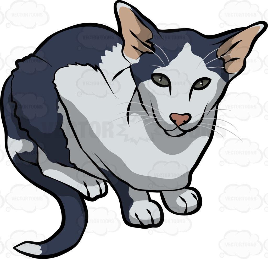 Oriental Bicolor Cat: Oriental An Oriental Bicolor Cat Breed