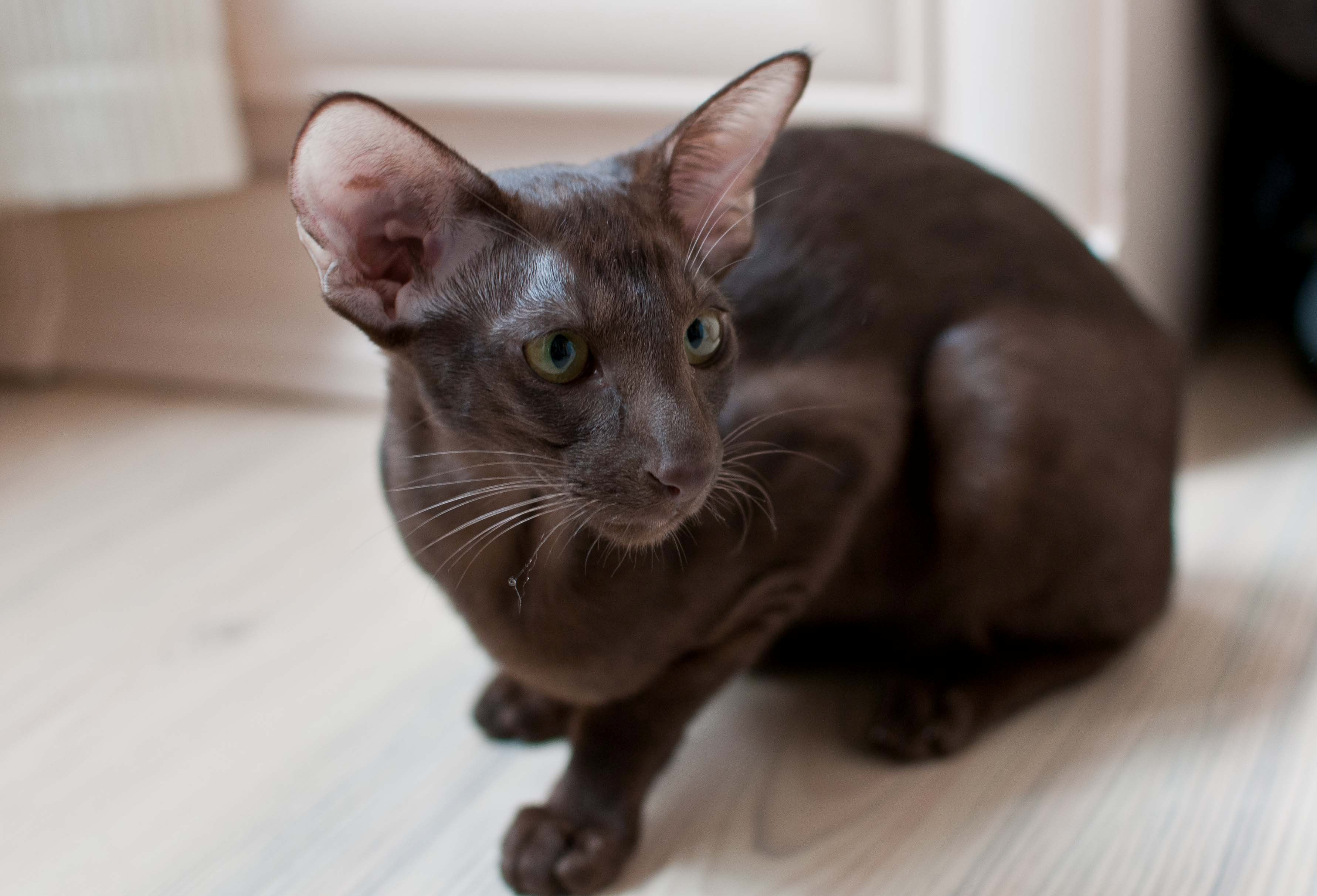 Oriental Bicolor Cat: Oriental Brownorientalcat Breed