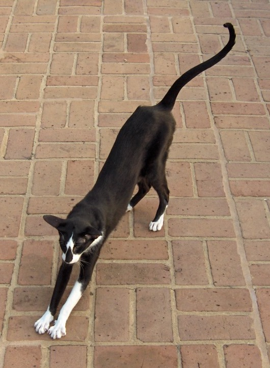 Oriental Bicolor Cat: Oriental Ciekawe Rasy Kotow Breed