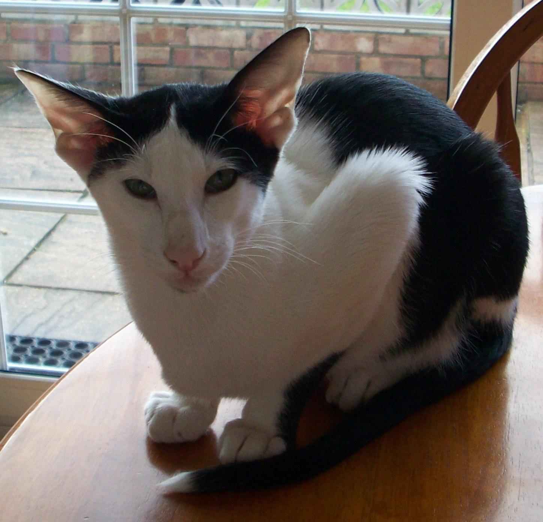 Oriental Bicolor Cat: Oriental Img Breed