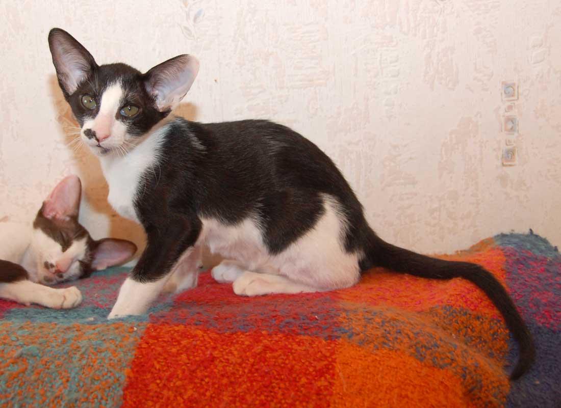 Oriental Bicolor Cat: Oriental Nice Oriental Bicolor Breed