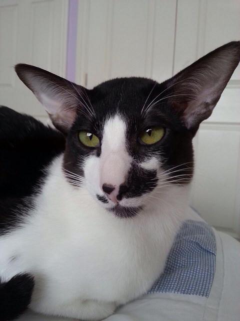 Oriental Bicolor Kitten: Oriental Oriental Bicolor Cat Breed