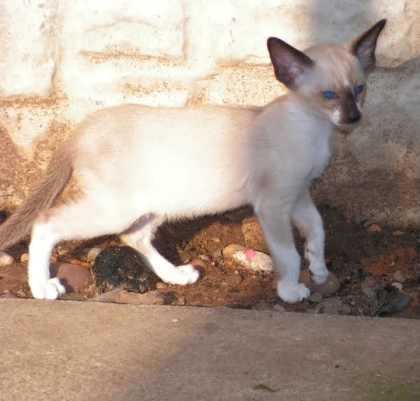 Oriental Bicolor Kitten: Oriental Oriental Bicolour Cat Picture Breed