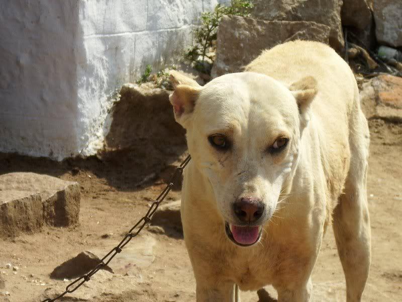 Pandikona Dog: Pandikona Index Breed