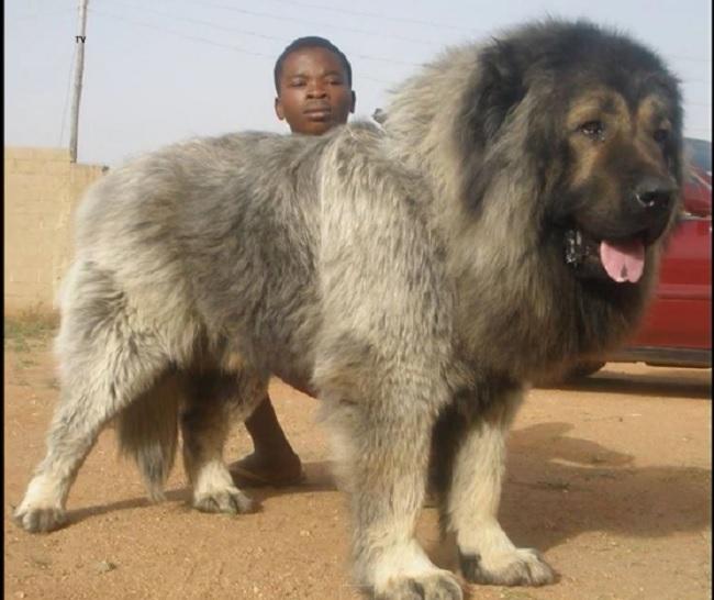 Pandikona Dog: Pandikona Unrecognized Mastiff Dogs From Nepal And Bhutan Breed