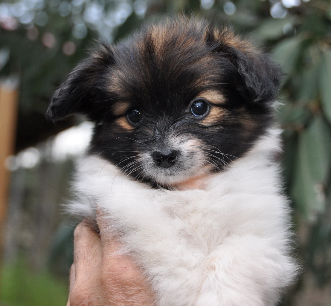 Papillon Puppies: Papillon S Of Papillon Puppies Desktop Breed