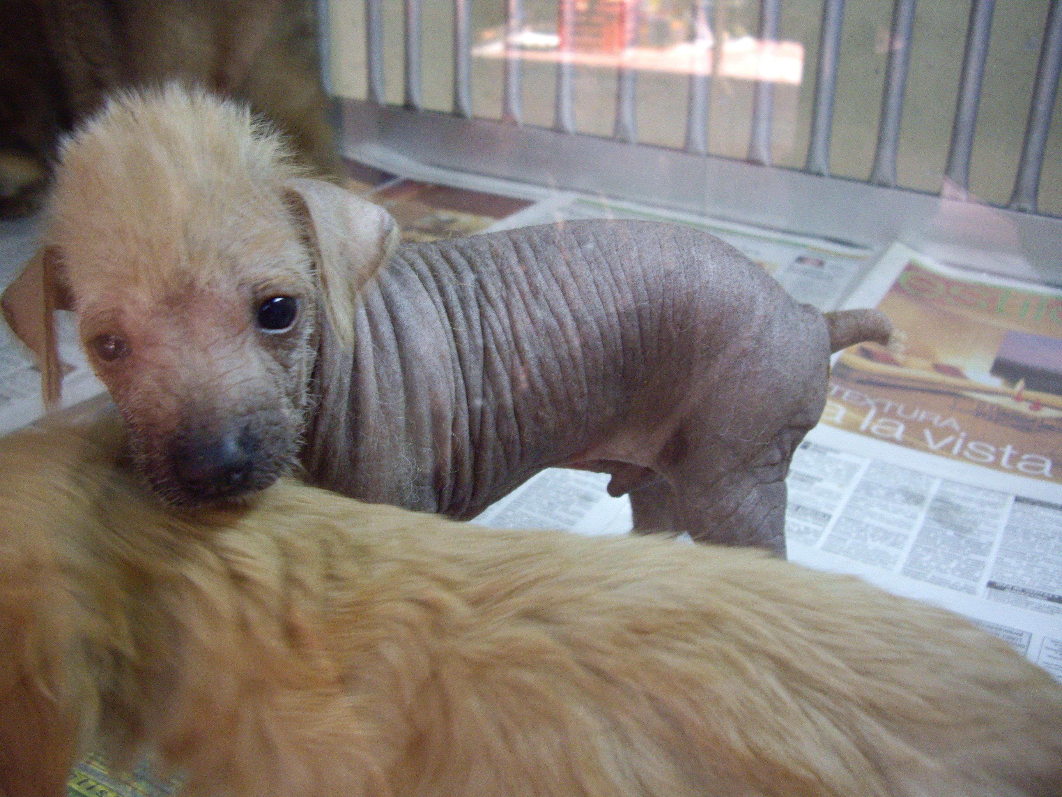 Peruvian Hairless Puppies: Peruvian Peruvian Hairless Dog Puppies Breed