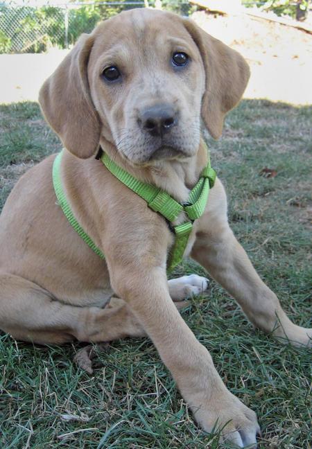 Plott Hound Puppies: Plott Bindi The Plott Hound Labrador Mix Breed
