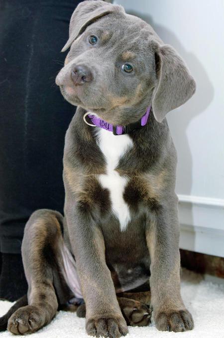 Plott Hound Puppies: Plott Luna The Plott Hound Mix Breed