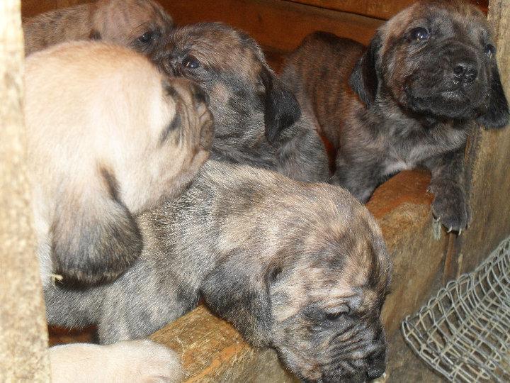 Plott Hound Puppies: Plott Plott Hound Puppies Breed