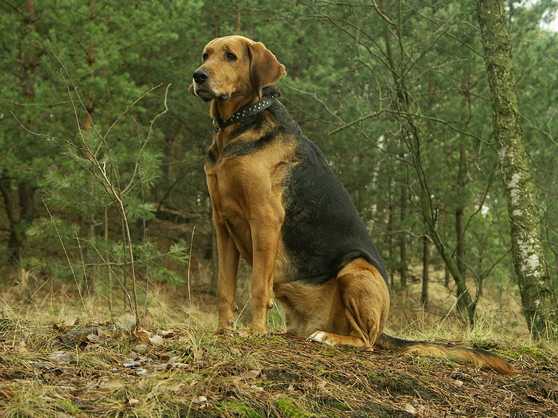 Polish Greyhound Dog: Polish Polish Hound Dog Breed