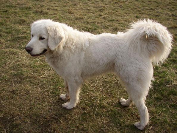 Polish Tatra Sheepdog Dog: Polish Polish Tatra Sheepdog Breed
