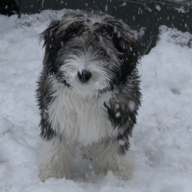 Polish Lowland Sheepdog Puppies: Polish Polishlowlandsheepdogpuppies Breed